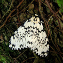 Lymantria Moth