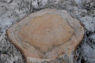Photo: Avverkad, gammal naturvärdesgran. Guld för Sveaskog går före.