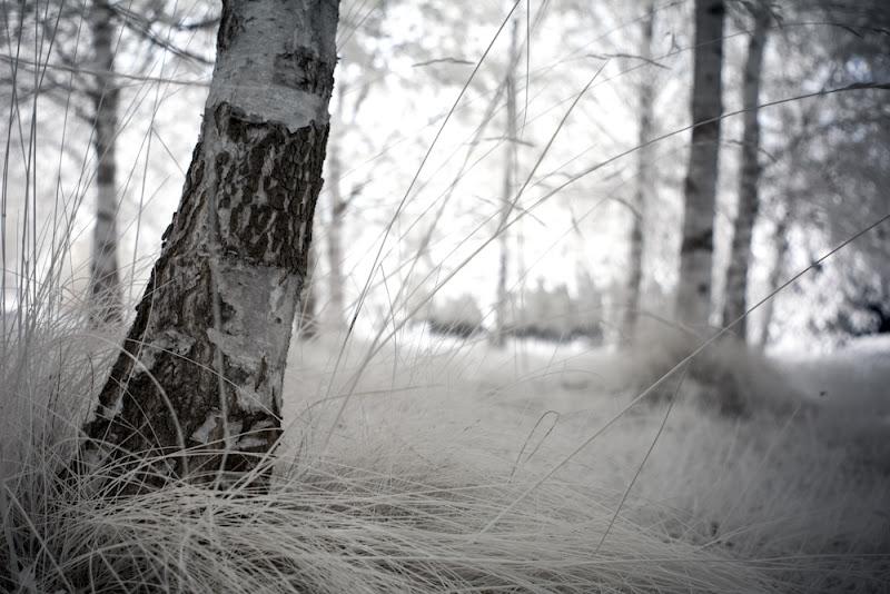 Photo: birchbokeh  #ir  #infrared