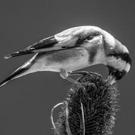 Goldfinch feeding time by Garry Chisholm - Black & White Animals ( teasel, nature, bird, british wildlife, goldfinch, canon, garry chisholm )
