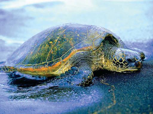 Montserrat-turtle-pic - A turtle on the beach on Montserrat.