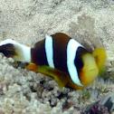 Panda Clownfish