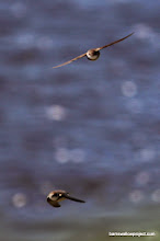 Photo: Sand martin, ace of the sky