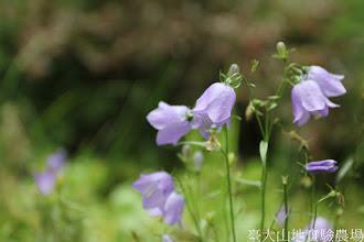 Photo: 拍攝地點: 梅峰-溫帶花卉區 拍攝植物: 風鈴草 拍攝日期: 2015_07_29_FY