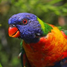 Lorikeet by Anthony Goldman - Animals Birds ( rainbow, sydney, nature, bird, lorikeet, botanic gardens, parrot, wild, colors, wildlife )