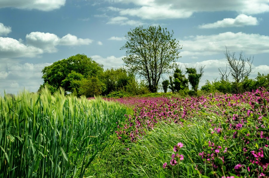 Campion and Corn by Heather Ryder - Landscapes Prairies, Meadows & Fields ( clouds, field, campion, sky, grass, green, trees, pink, corn,  )
