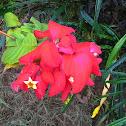 Ashanti Blood or Red Flag Bush or Tropical Dogwood