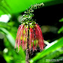 Red Calliandra