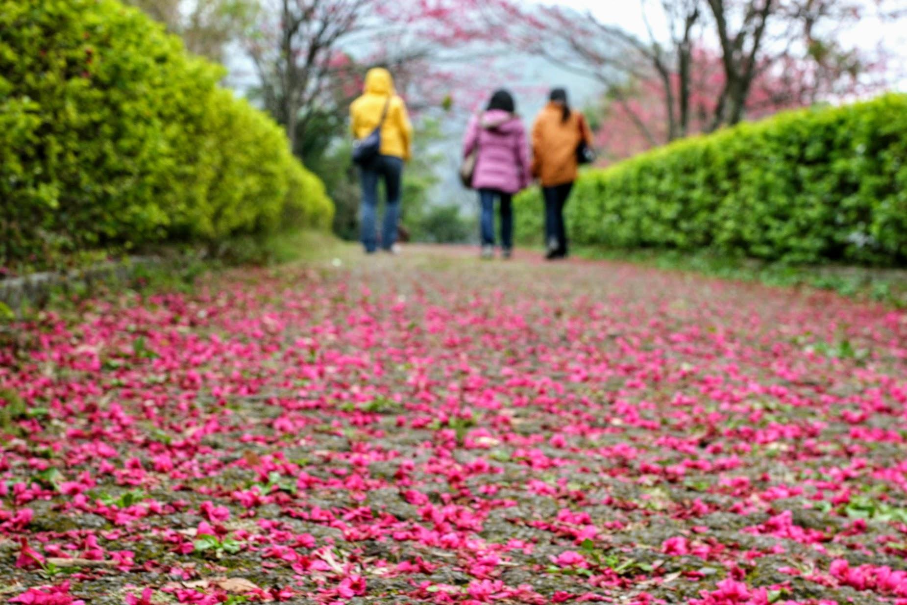 奧萬大國家森林遊樂區,這次來地上都是滿滿櫻花,真的粉美...