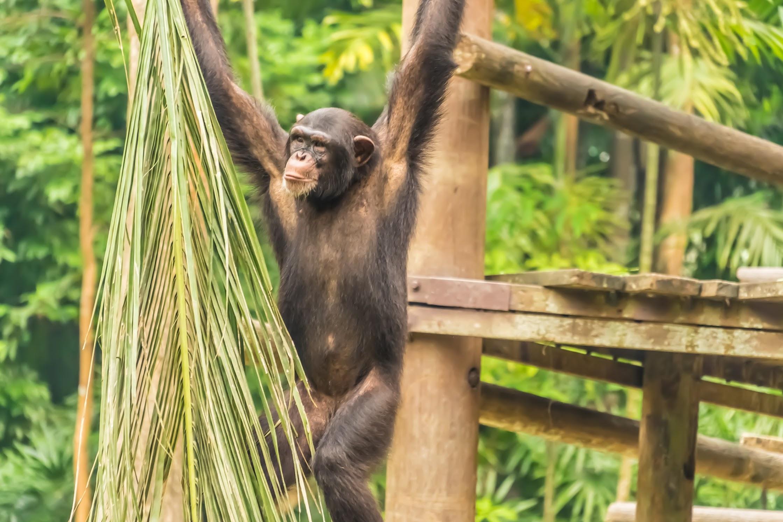 シンガポール動物園 チンパンジー2