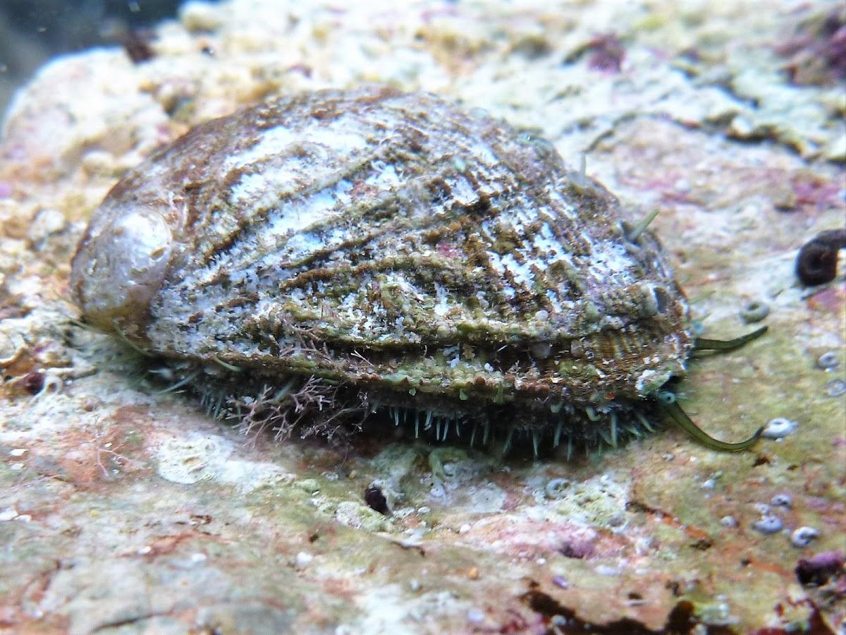 Green ormer. Oreja de mar