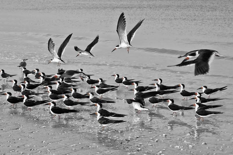 Photo: Black skimmers. Marco Island, Florida