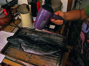 Photo: blow-drying fish 2