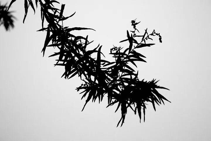 artemisia silhouette di barzakan