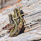 Macedonian Mountain Grasshopper