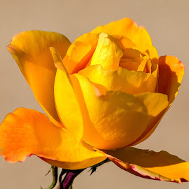 Rose by Dave Lipchen - Flowers Single Flower ( rose )