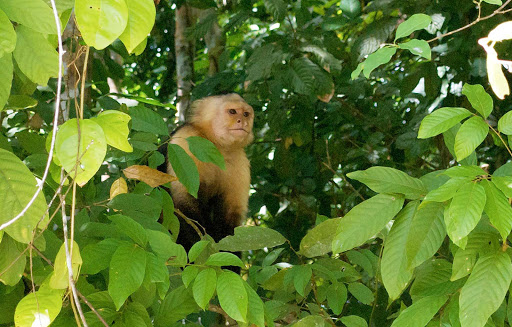Panama-Capuchin - A capuchin monkey spotted near the Panama Canal.