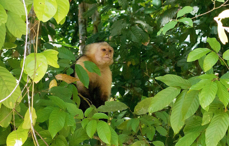 A capuchin monkey spotted near the Panama Canal.