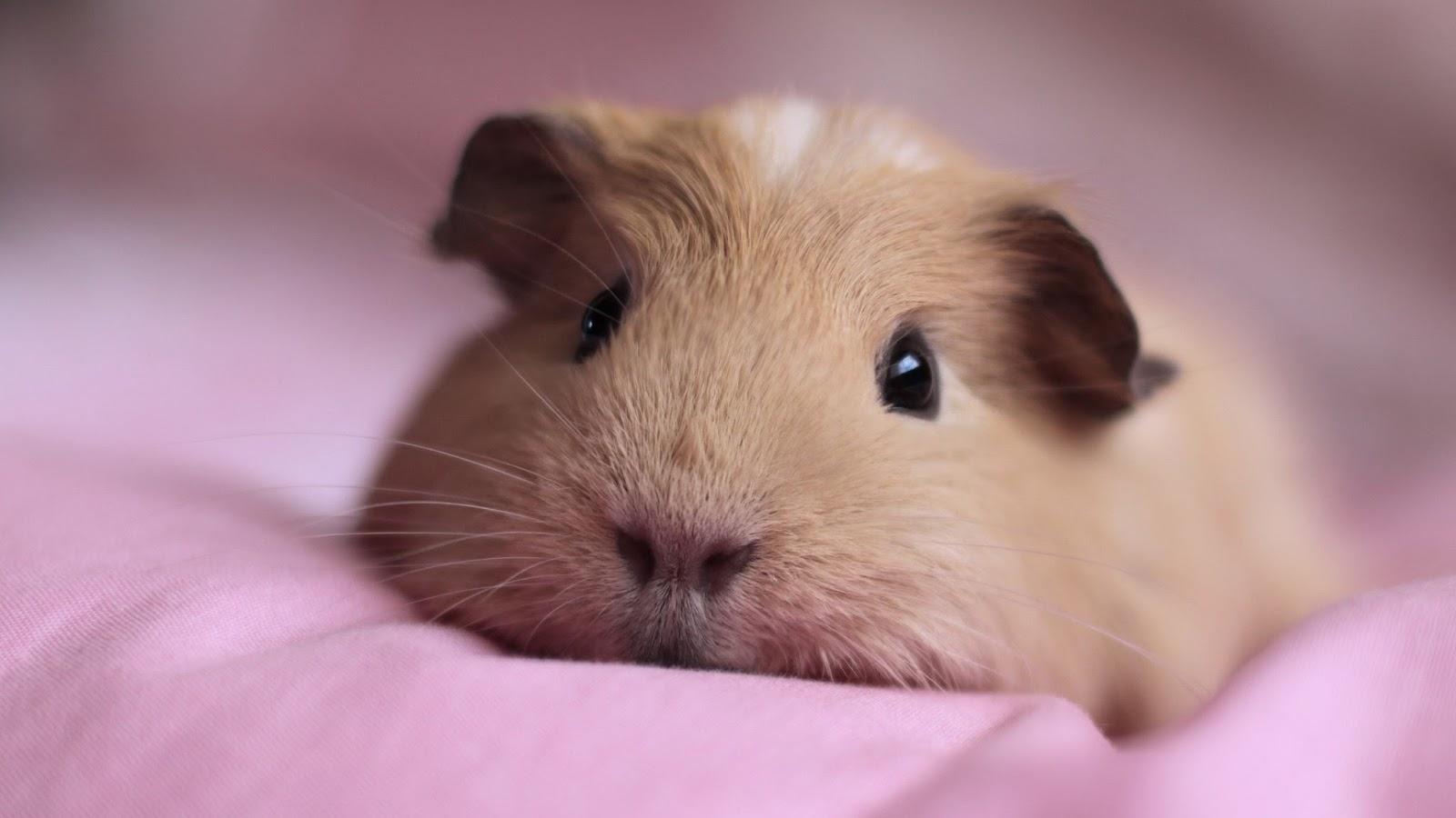 cute-guinea-pigs-in-costumes-wallpaper-3.jpg