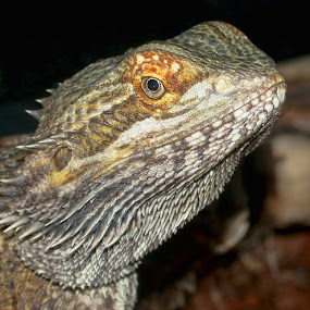 Bearded Dragon by Lisa Powers - Animals Reptiles