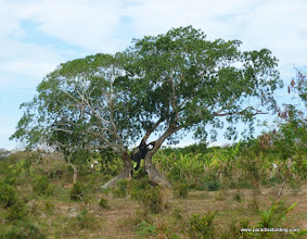 Photo: This amazing fig tree will full of Mexican Parrotlets; Chacalilla