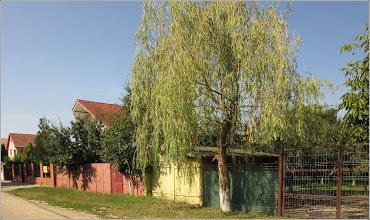 Photo: Salcie (Salix) - din Turda, Str. Ion Agarbiceanu - 2019.07.19