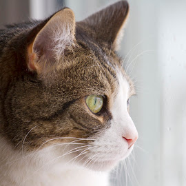 Bird Watching by Scott Stolsenberg - Animals - Cats Portraits ( tan, white, cat, window, portrait, pet )
