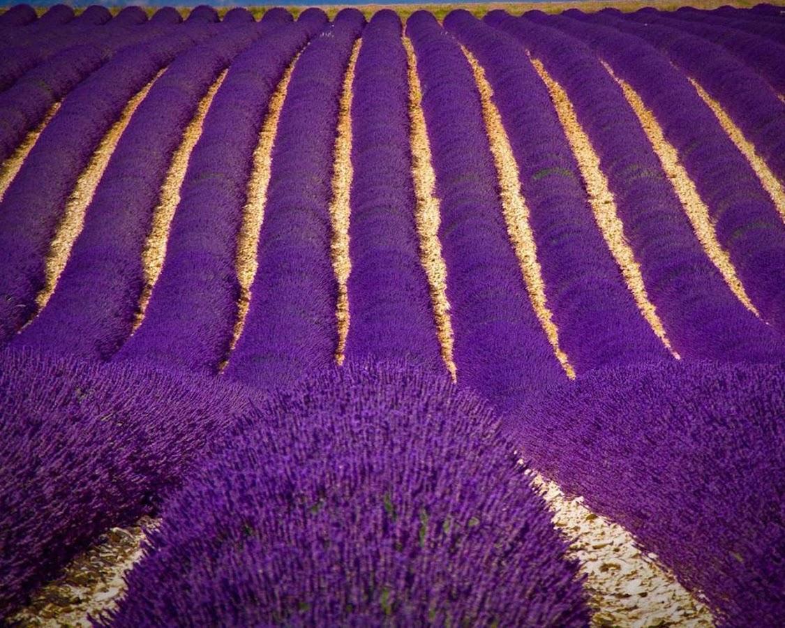 Lavender Bunga Wallpaper Apl Android Di Google Play