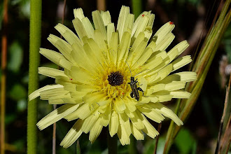 Photo: Urospermum dalechampii, boccione maggiore
