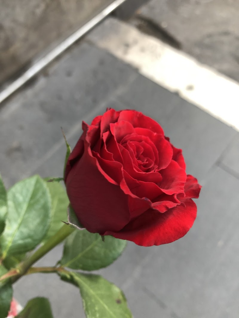 Rosa rossa di emanuela_dolci