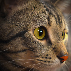 Little red nose :) by Sean Valdez - Animals - Cats Portraits ( cats, red, grey, candid, yellow, kittens, tabby, portrait,  )