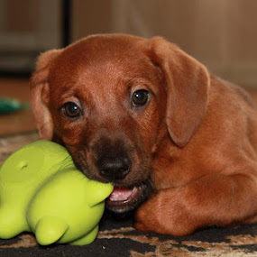 He likes his new toys. by Tiona Anglin Appel - Animals - Dogs Puppies ( pwcpuppies )