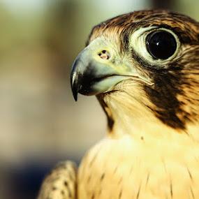 Falcon by Arslan Mughal - Animals Birds ( falcon )