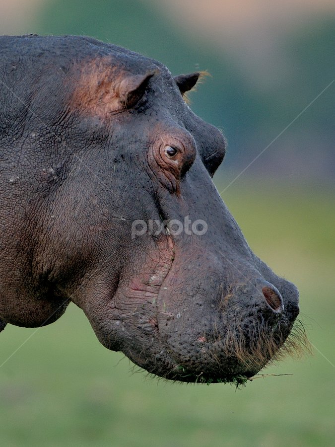 Hippo beard by Les Penfold - Animals Other Mammals