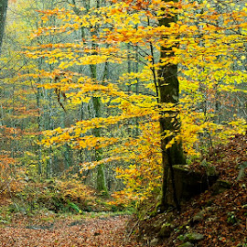 My Gold by Siniša Almaši - Nature Up Close Trees & Bushes ( natural light, up close, forest, yellow, landscape, leaves, woods, colours, nature, tree, autumn, trees, view, light )