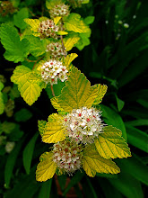 Photo: blossoms of physocarpus 'Dart's Gold' (ninebark)