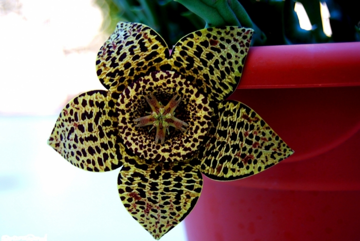 Fioritura di una pianta grassa di Ilariaz2
