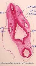 Photo: Nervous System (blue labels): CN IX - Ganglion of Cranial Nerve IX CN X - Ganglion of Cranial Nerve CN XII - Crainial Nerve XII ED - Endolymphatic Duct OV - Otic Vesicle MS - Mesencephalon MT - Metencephalon MY - Myelencephalon