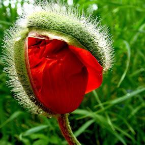 by Philippe Smith-Smith - Flowers Flower Gardens ( fleur, red, poppy,  )