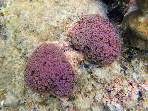Photo: Goniopora sp. (Flower Pot Coral), Lusong Island, Coral Garden Reef, Palawan, Philippines.