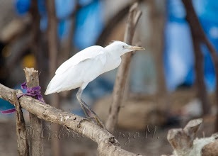 Photo: Garcilla bueyera (Bubulcus ibis)