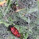 Funnel-web Spider Web