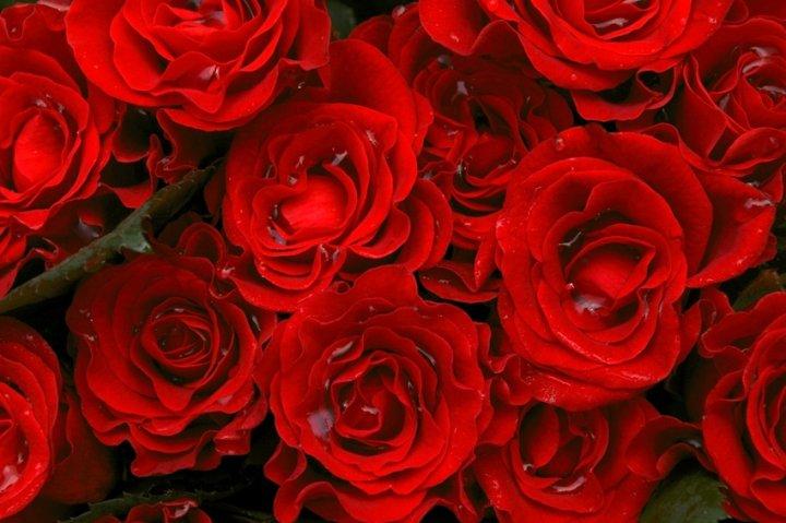 Rose Rosse di 0