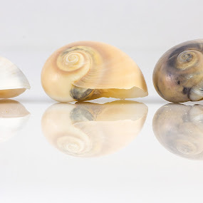 shells by Giovanni De Bellis - Artistic Objects Still Life ( shells, still life, white, reflections, conchiglie )