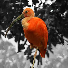 Scarlet Ibis by Mili Shrivastava - Animals Birds ( , color, colors, landscape, portrait, object, filter forge )