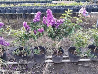 Các chậu cây bằng lăng Thái còn lại ở vườn chú 5