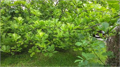 Photo: Magnolie (Magnolia) - din Turda, Piata 1 Decembrie 1918, parc - 2019.06.04