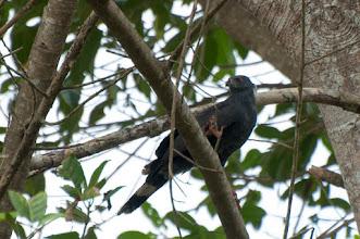 Photo: Crane-Hawk (Sperberweihe); Chacchoben, QROO