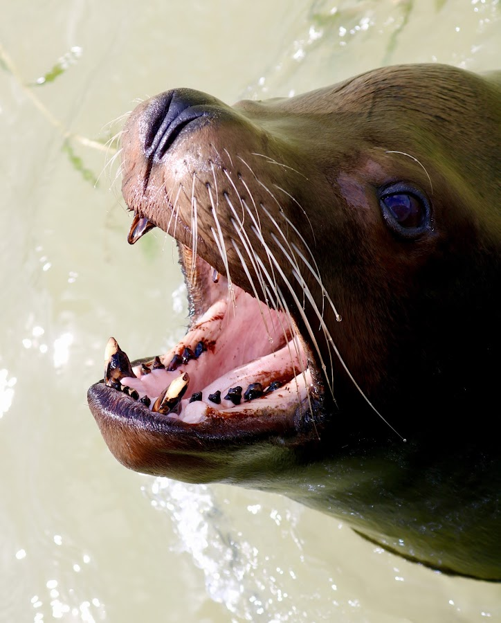 Sea Lion by Richard Lawes - Novices Only Wildlife