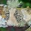 Button lichen